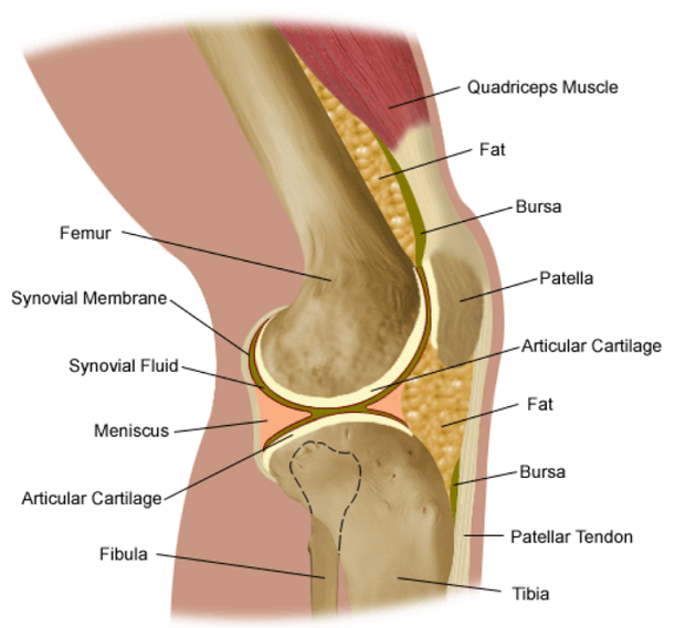 knee anatomy diagram